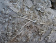 The site's rocks contain a jumble of preserved Hamipterus eggs, as well as disarticulated bones from adults of the same species. Paleontologists aren't sure yet why they have found only remains of Hamipterus in these deposits.